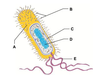 pertussis cell diagram campbell biology place chapter 27 activities quiz  campbell biology place chapter 27 activities quiz