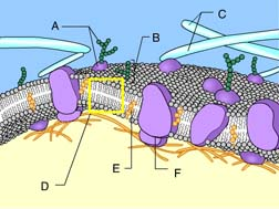 Cell Membrane Diagram Worksheet Identify structure d.